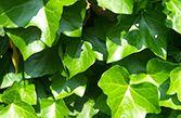 Giftige pflanzen - Efeu zimmerpflanze giftig ...