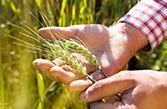 Holle: Weizen