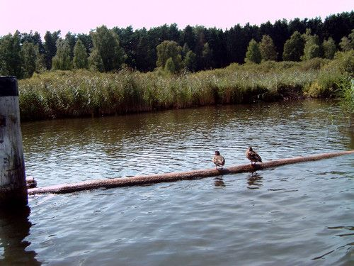 Wir machen eine entspannende Ruderbootstour auf dem Plauer See. Auch die Enten relaxen  .-)