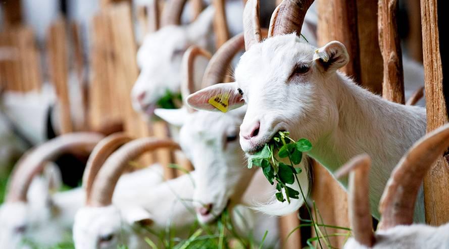 Bio-Säuglingsnahrung auf Ziegenmilchbasis